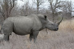 rinocerossen Stock Foto