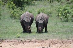 rinocerossen Stock Afbeelding