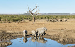Rinocerossen bij een Bar Stock Fotografie