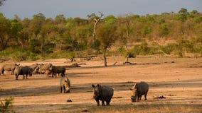 Rinocerossen bij een waterhole tijdens zonsondergang stock video