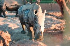 Rinocerossen in de modder Stock Afbeelding