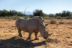 Rinocerossen in de wildernis Royalty-vrije Stock Foto's