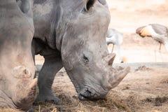 Rinocerossen die droog gras ter plaatse eten Stock Afbeelding