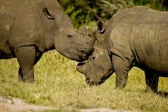 Rinocerossen die hoofden wrijven Stock Fotografie