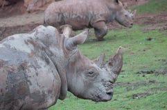 Rinocerossen in het natuurreservaat van Noordelijk Spanje stock afbeelding