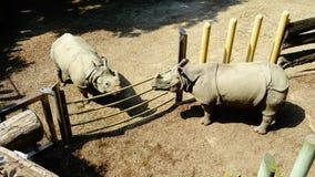 Rinocerossen het samenkomen Royalty-vrije Stock Afbeeldingen