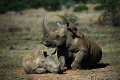 Rinocerossen: Moeder en Kind Royalty-vrije Stock Afbeelding