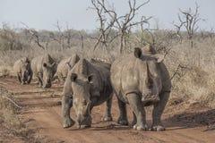 Rinocerossen op de weg Royalty-vrije Stock Afbeeldingen