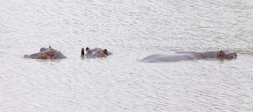 Rinocerossen in water worden ondergedompeld dat stock fotografie