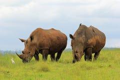Rinocerossen, Zuid-Afrika Stock Foto's