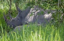 Rinocerosslaap bij Ziwa-Rinocerosheiligdom royalty-vrije stock afbeeldingen