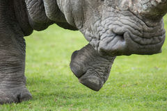 Rinocerosstap Stock Afbeeldingen
