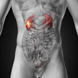 Rins - anatomia masculina dos órgãos humanos - opinião do raio X Foto de Stock