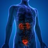 Rins dos órgãos do corpo humano com bexiga urinária ilustração do vetor