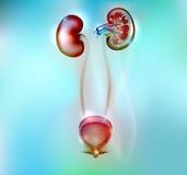 Rins humanos e anatomia da bexiga urinária Fotografia de Stock