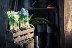 Rinvasare un giacinto colourful ed i vecchi vasi di argilla immagini stock