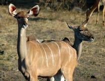Rio de Kudu - de Chobe foto de stock