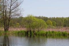 Rio do meandro do panorama com o junco na parte nortenha região de Ucrânia, Sumy Sp ribeirinho do Salix da vegetação Prado inunda Fotos de Stock