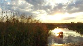 Rio e grama do lago nature na luz solar do por do sol O cão lava no vídeo de movimento do tiro do steadicam da água imagem de stock royalty free