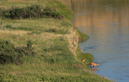 Rio entrando dos cervos de mula fotos de stock royalty free
