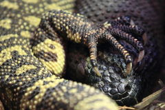 Rio fuente beaded lizard. The detail of Rio fuente beaded lizards royalty free stock images