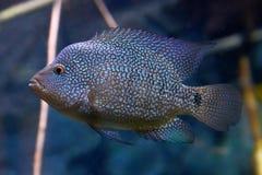 Rio Grande Cichlid (Herichthys cyanoguttatus) Royalty Free Stock Image