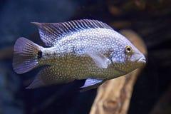 Rio Grande Cichlid (Herichthys cyanoguttatus) Royalty Free Stock Photo
