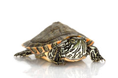 Rio Grande Cooter Royalty Free Stock Photo