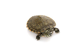 Rio Grande Cooter Stock Images