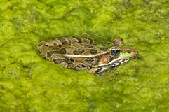 A Rio Grande Leopard Frog Stock Images