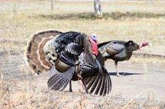Rio Grande wild turkeys. Walking outdoors Royalty Free Stock Images