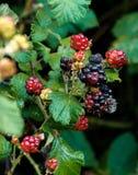 Rio próximo de Blackberry Luphara, Abkhasia fotografia de stock royalty free