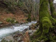 Rio rápido montanhoso com água clara e uma árvore coberto de vegetação com o musgo na floresta nas montanhas Dirfys na ilha de foto de stock royalty free