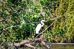 Rio San Juan Egret Royalty Free Stock Photos