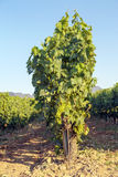 Rioja vineyards Stock Image