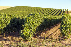 Rioja vineyards Stock Photography