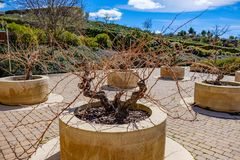 Riojasin酒叶子或葡萄张力在圆的石罐种植了在有砖地的a一个露台 库存图片