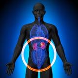 Riñones - anatomía masculina de órganos humanos - opinión de la radiografía Fotos de archivo libres de regalías