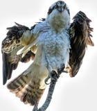 Riordino del falco pescatore sopra il ramo Fotografie Stock Libere da Diritti
