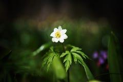 Rios e lagoa próximos brancos frescos bonitos do crescimento de flor da mola Imagens de Stock