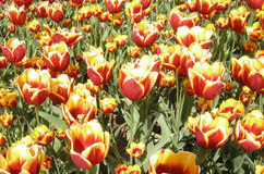 Riot of Tulips. A bright bed of red and yellow tulips in a display garden Stock Image