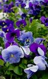 Riot of Violet. Violets in a garden Stock Photos