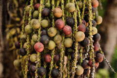 Rip areca or betel palm fruit in nature. Royalty Free Stock Photography