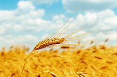 Rip ear of wheat Stock Photo