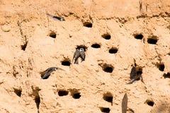 Riparia de sable Martins ou de Riparia en trous d'emboîtement photos libres de droits