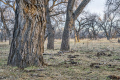 Riparian forest in eastern Colorado Royalty Free Stock Images