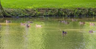Wild ducks swimming in a pond. Riparian park scenery including some mallards swimming in a lake at summer time royalty free stock image