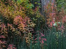 Riparian Plantlife in Autumn. Colorful  leaves, reeds etc. along a riverbank near Ketchum, Idaho Royalty Free Stock Photography