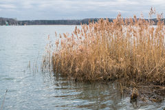 Riparian reed on the lake Biserovo, Moscow region. Common reed is a widespread grass-like perennial plant up to 5 m high, growing in moist and waterlogged areas royalty free stock images