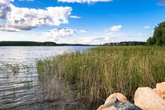 Riparian reed on the lake Seliger, Tver region. Common reed is a widespread grass-like perennial plant up to 5 m high, growing in moist and waterlogged areas royalty free stock photos